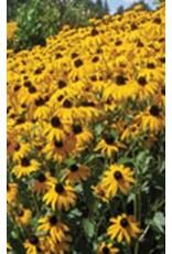 Goldsturm Rudbeckia Seeds 6605
