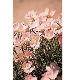 Showy Evening Primrose Seeds 6970