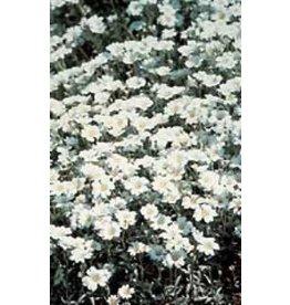 Snow-In-Summer Cerastium Seeds 6345