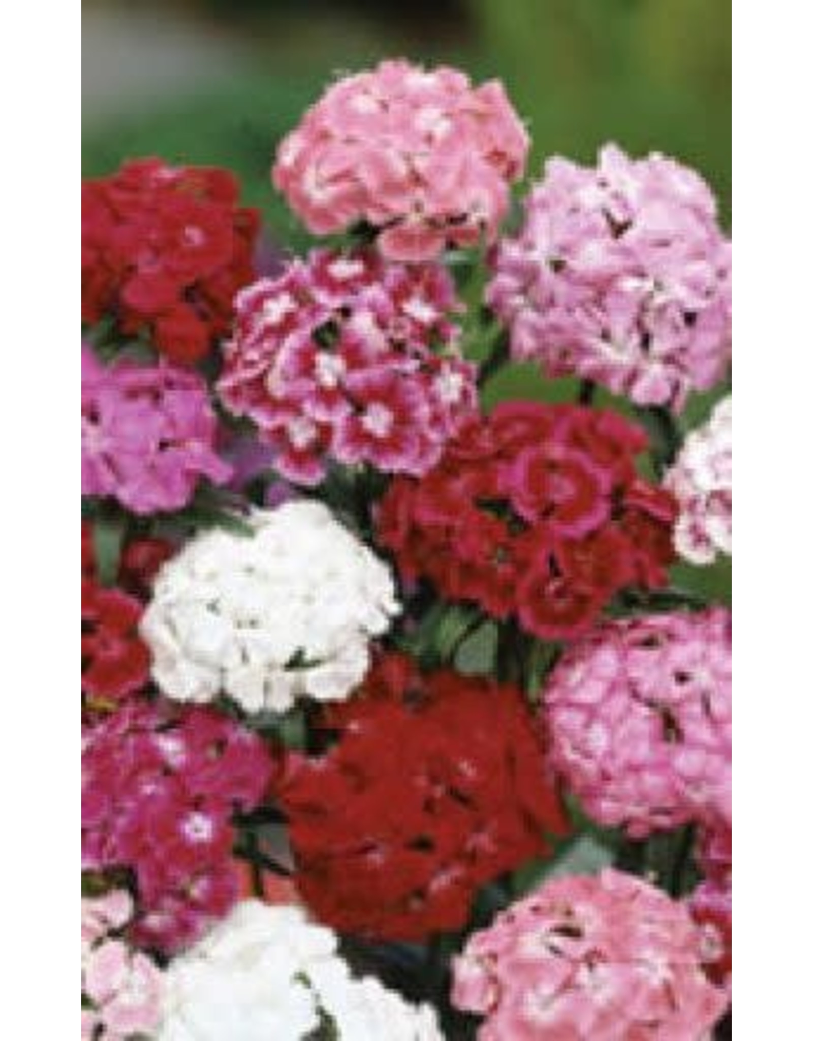 Giant Single Mixed Sweet William Seeds 6645