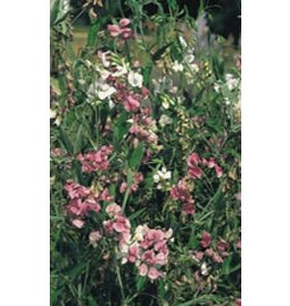 Mixed Colours Sweet Pea Seeds (Perennial Type) 6640
