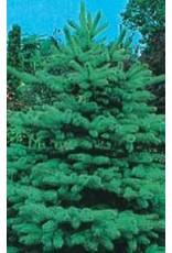 Colorado Blue Spruce Tree Seeds (Conifer) 6755
