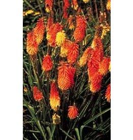 Pfitzers Hybrids Tritoma Seeds 6655