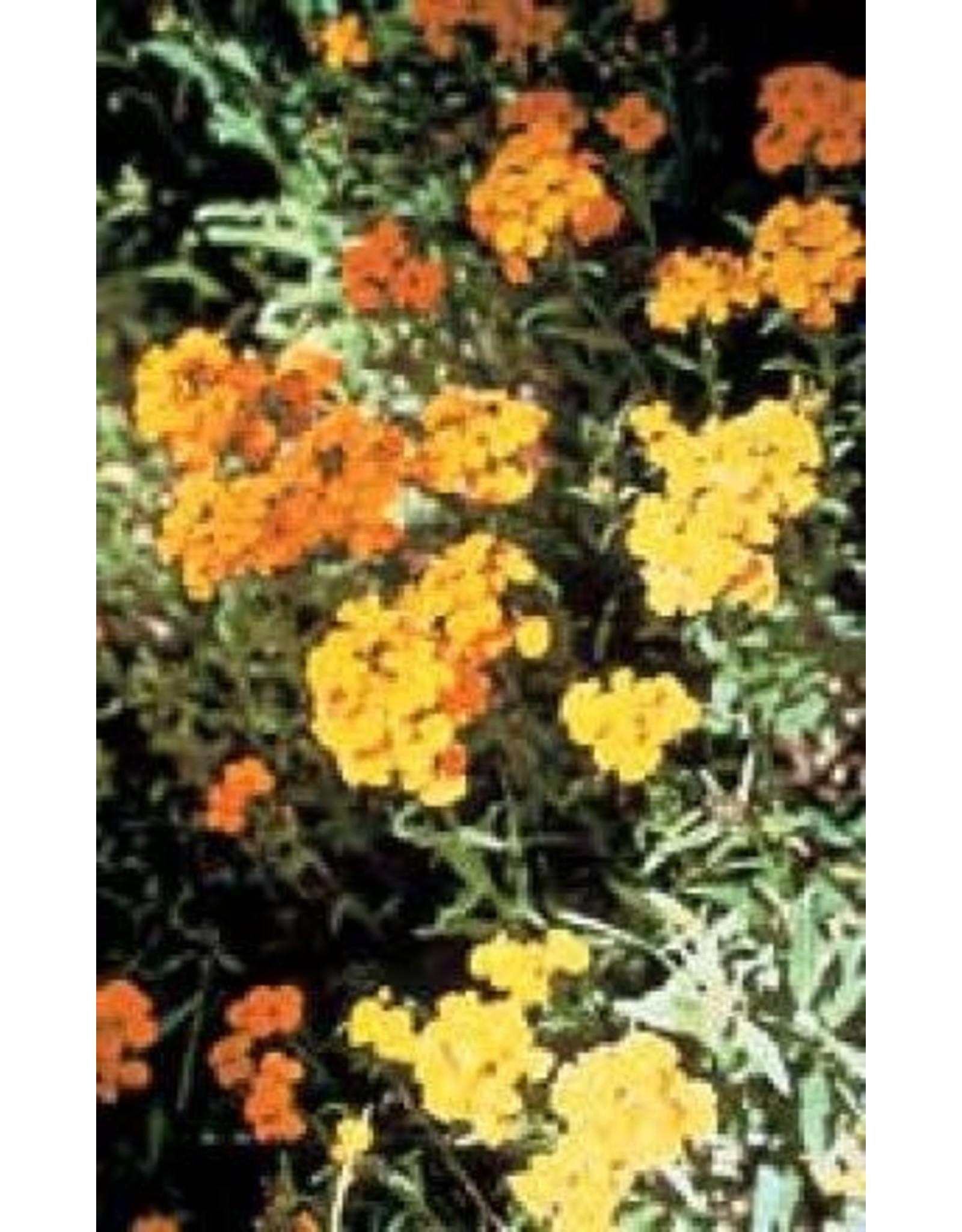 Double Mixed Wallflower Seeds 6665