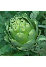 Green Globe Improved Artichoke Seeds 1105