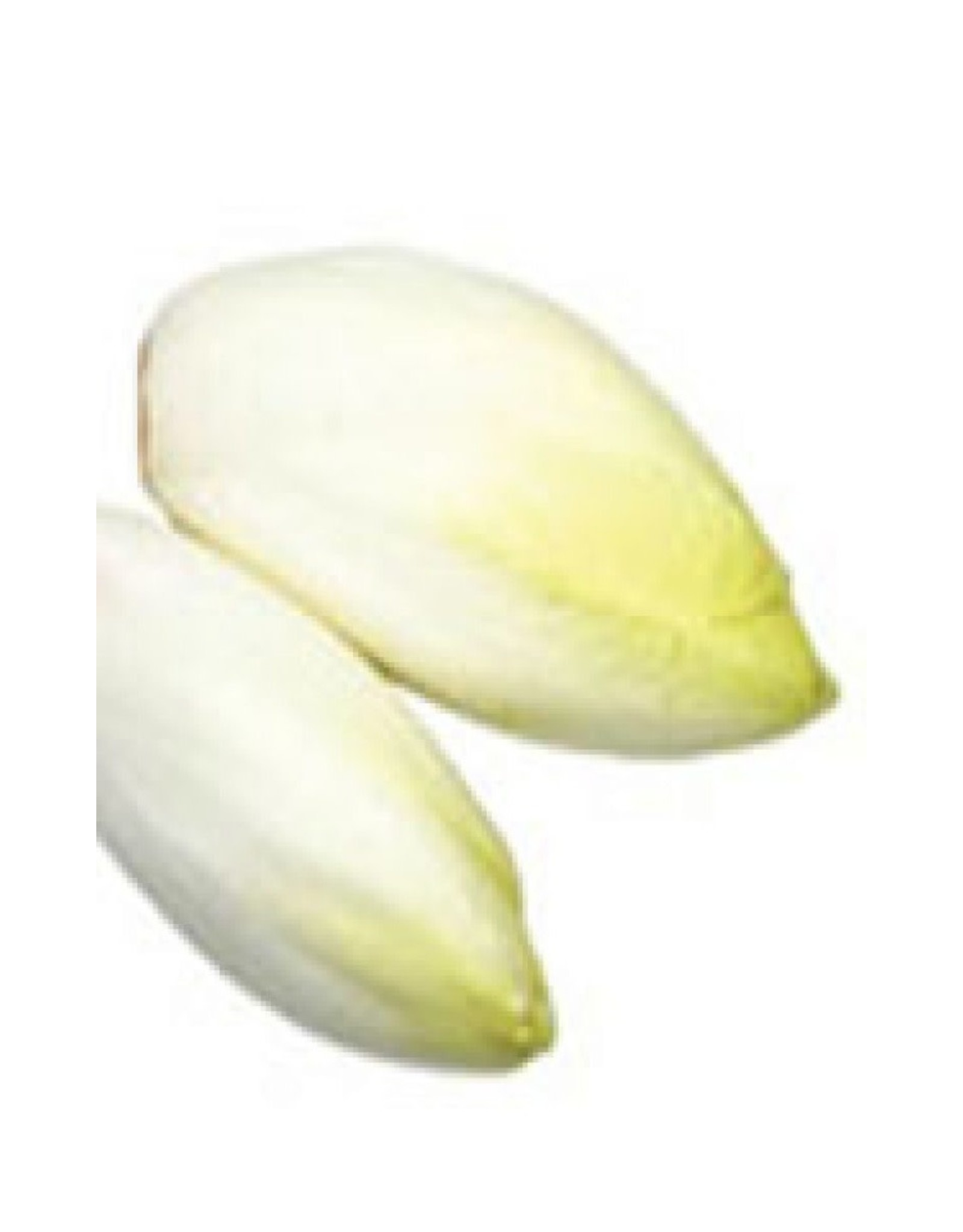 French Endive or Witloof Chicory Seeds 1495