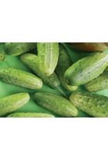 Chicago Cucumber Seeds (Pickling Type) 1605
