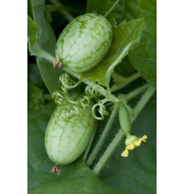 Mouse Melon Cucumber Seeds 1623