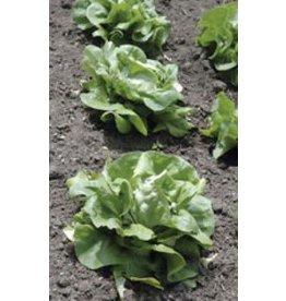 White Boston Lettuce Seeds (Butterhead Type) 1760