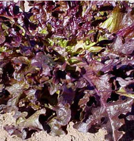 Red Oakleaf Lettuce Seeds (Leaf Type) 1726