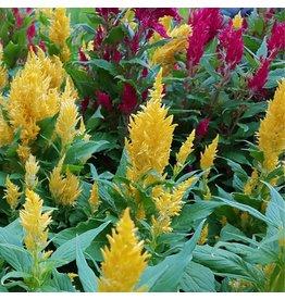 Mixed Colours Celosia Plumosa Seeds 5120