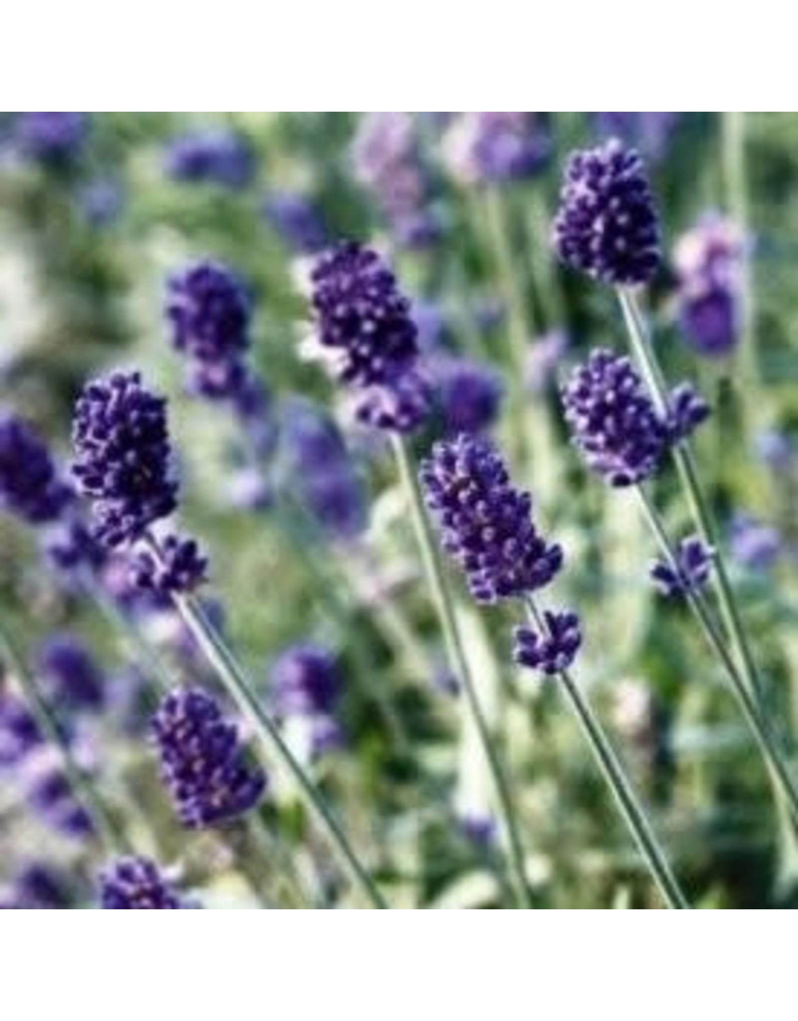 Vincenza Blue Lavender Seeds 6527