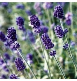 Vincenza Blue Lavender Seeds 6527