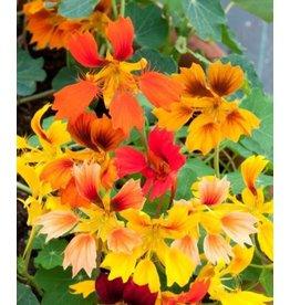 Phoenix Nasturtium Seeds 5807