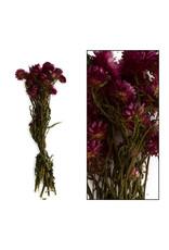 Dijk Helichrysum Pink
