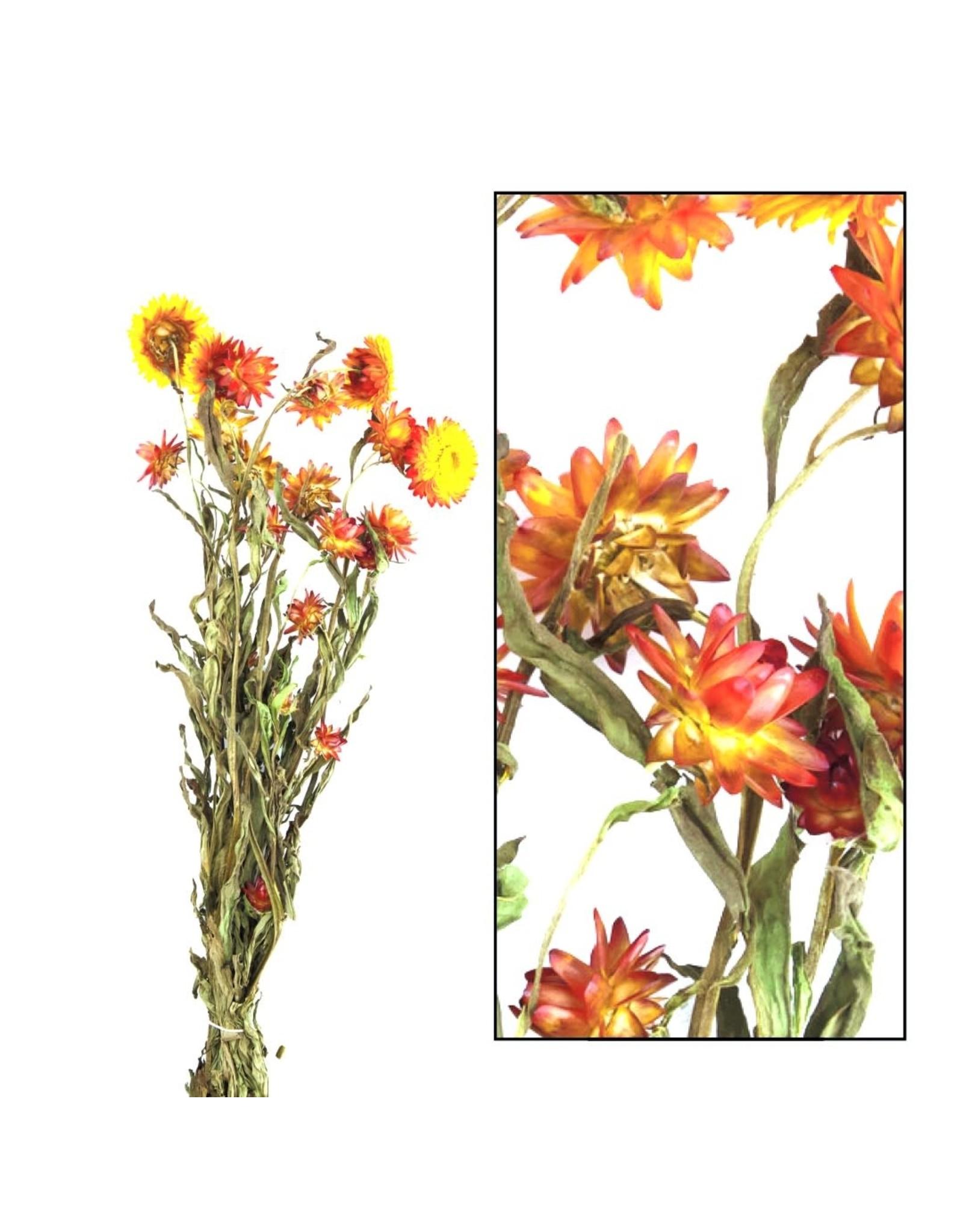 Dijk Helichrysum Orange