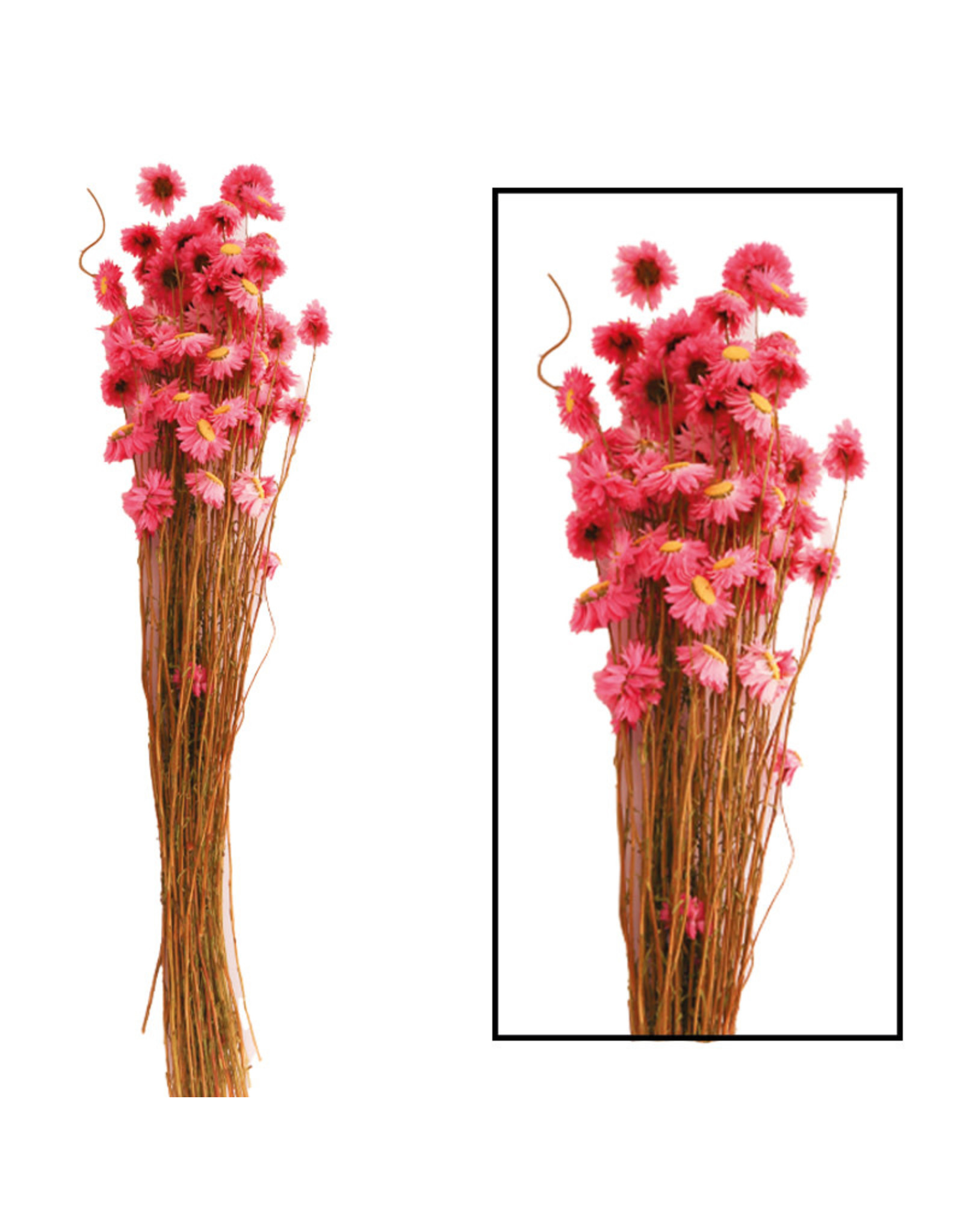 Dijk Acroclinium Pink