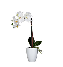 Mica Phalaenopsis White in Pot Tusca Orchid White d10cm - h42xd20cm