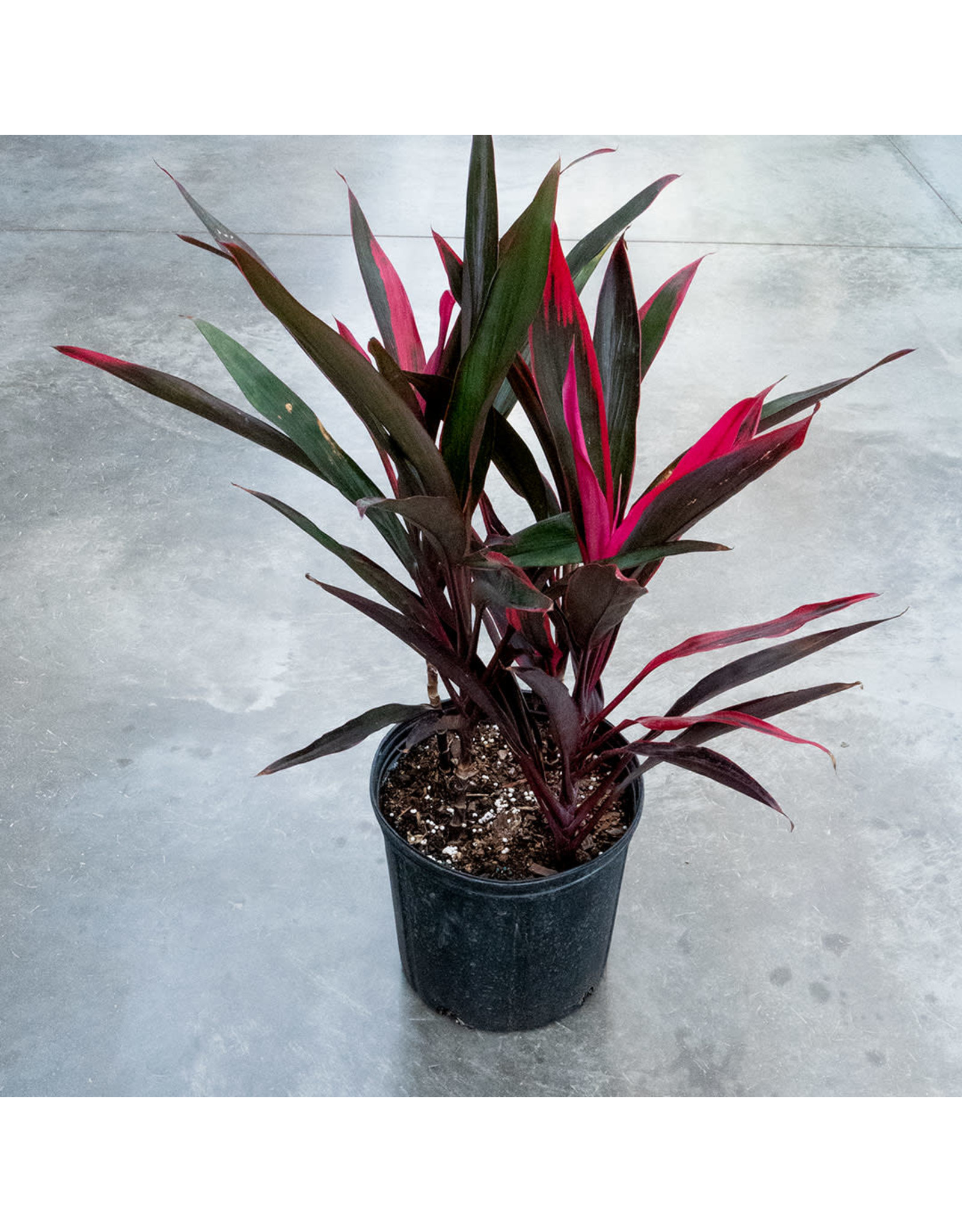 ShopTropicals Cordyline - Hot Pepper 4ppp - 10''