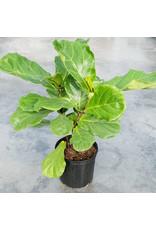Ficus- Lyrata Bush - 10''