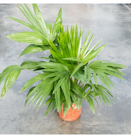 ShopTropicals Palm - Livistona Chinese Fan - 10''