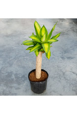 Dracaena Fragrans - Dracaena Mass Cane Single - 10""