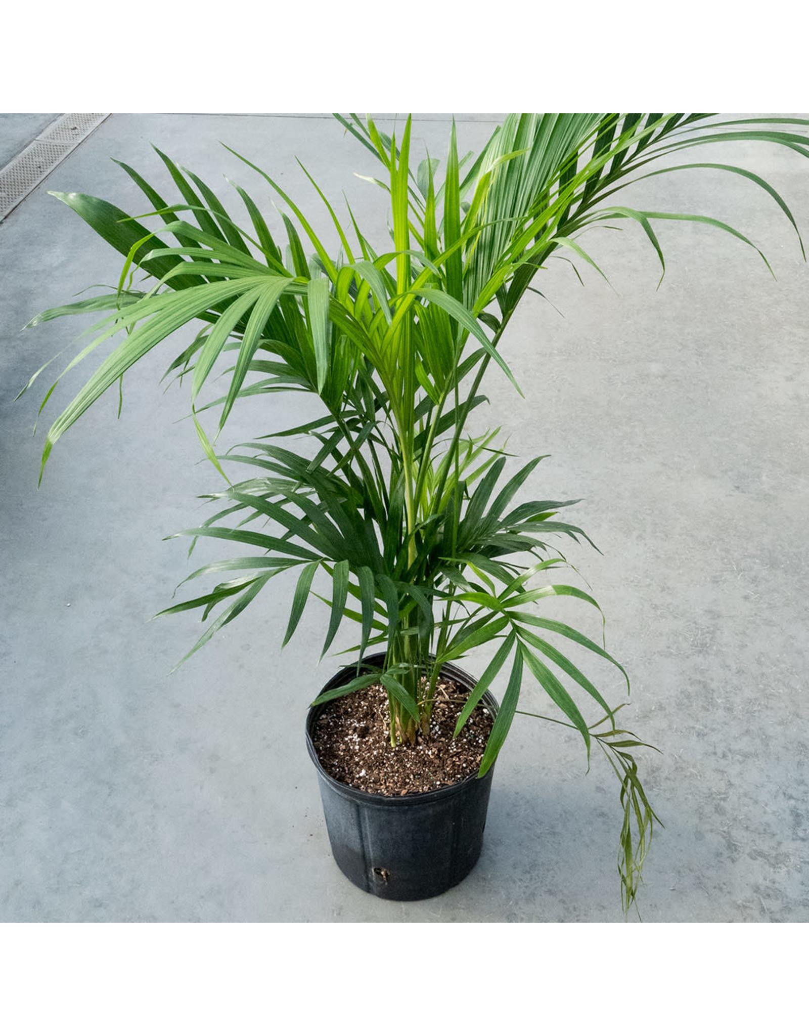 """Cat Palm - Chamaedorea Cataractarum - 10"""""""