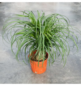 Palm - Beaucarnea Ponytail - 10''