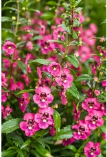 Home Grown Angelonia - Angleface Perfect Pink