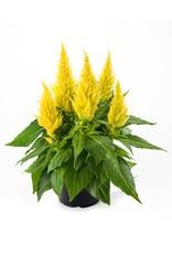 Home Grown Celosia - Fire Yellow Kelos