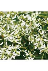 Home Grown Euphorbia - Diamond Frost