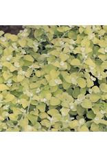 Home Grown Helichrysum - Lemon Licorice Plant
