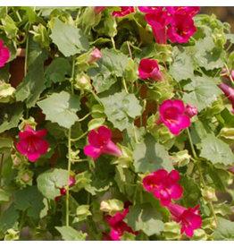 Home Grown Lophospermum - Lofos Compact Rose