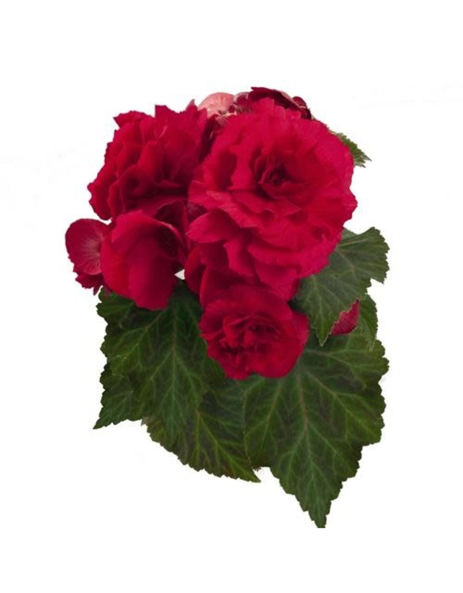 Begonia - Nonstop Deep Rose
