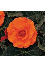 Begonia - Nonstop Orange