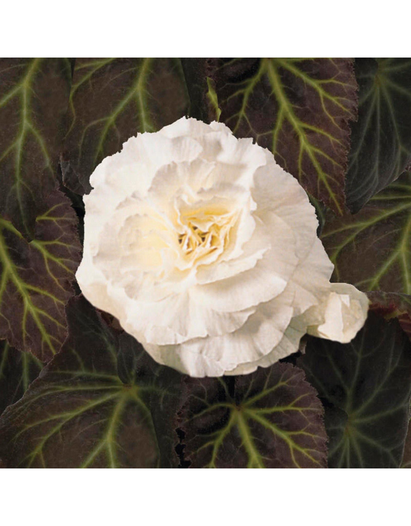 Begonia - Nonstop White