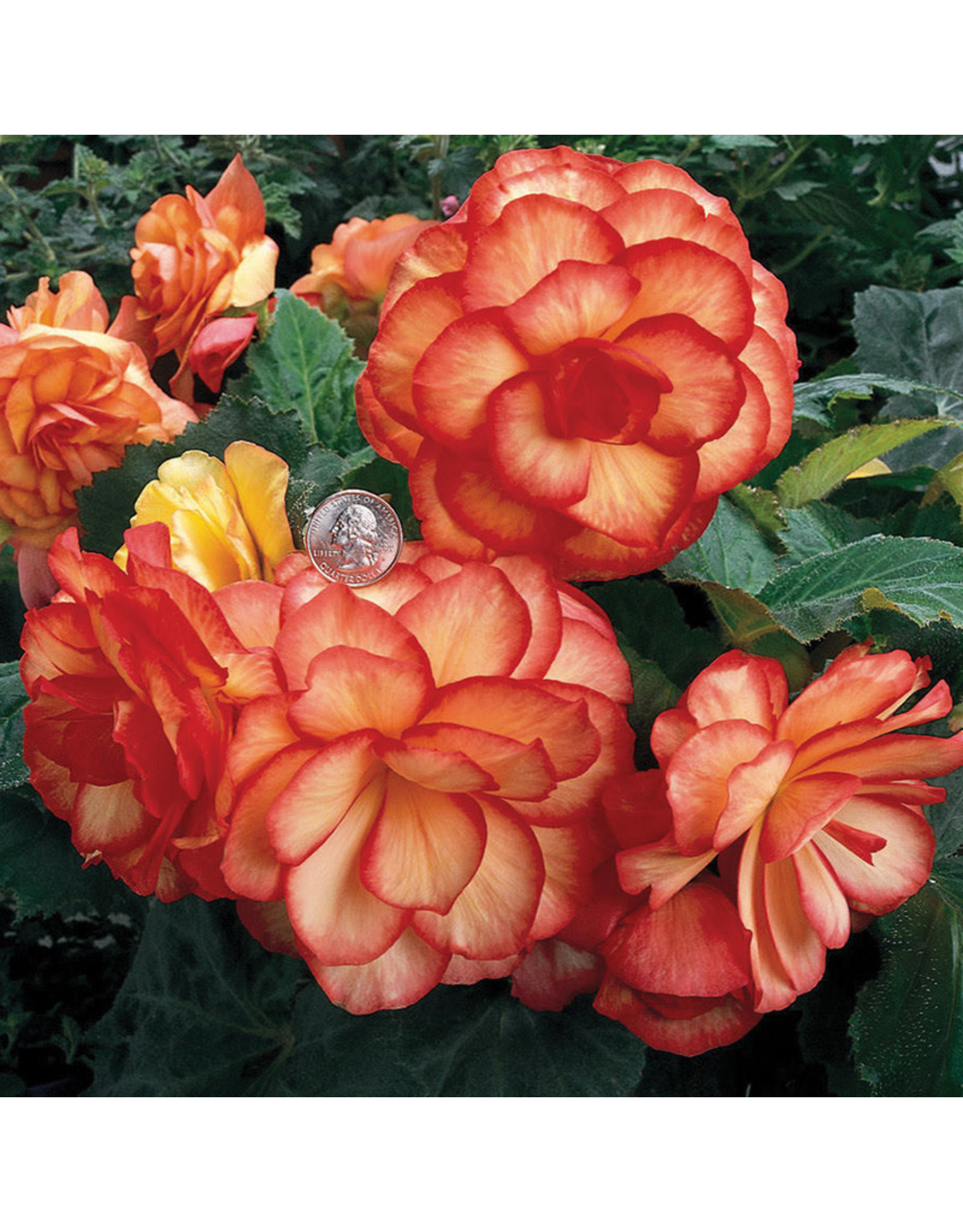 Begonia - Nonstop On Top Sunset Shade