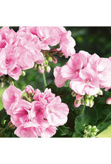 Geranium - Elanos Rose