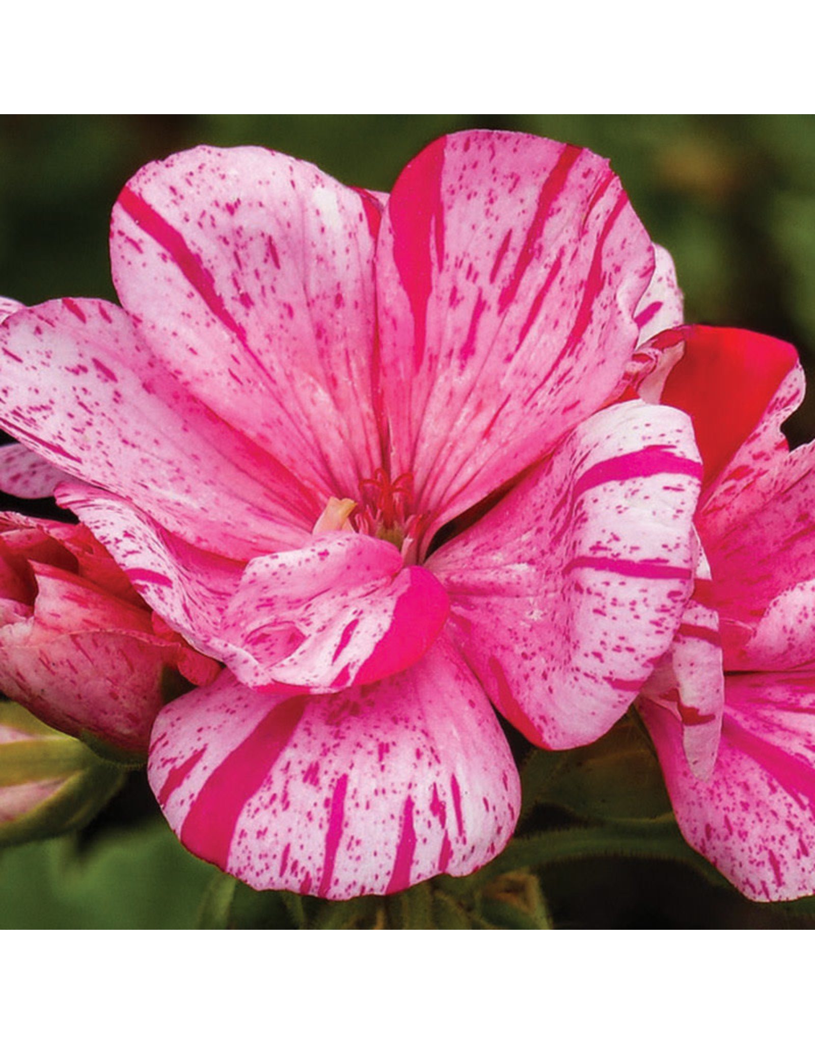 Geranium - Survivor Pink Batik