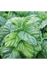 Home Grown Basil Lettuce Leaf