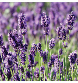 Home Grown Munstead Lavender