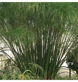 Grass Ornamental Cyperus Papyrus King Tut