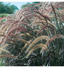 Grass Ornamental Pennisetum Rub.(Prp Fountain)