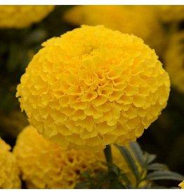 Marigold -Taishan Yellow (Jumbo 6 Pack)