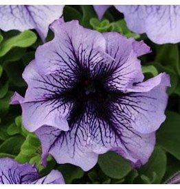 Petunia - Daddy Blue  (Jumbo 6 Pack)
