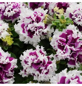 Petunia - Pirouette Purple Double  (Jumbo 6 Pack)