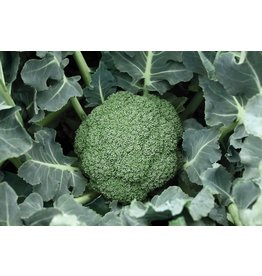 Broccoli - Destiny (6 Pack)