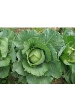 Cabbage - Copenhagen (6 Pack)