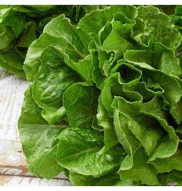 Lettuce - Buttercrunch (6 Pack)