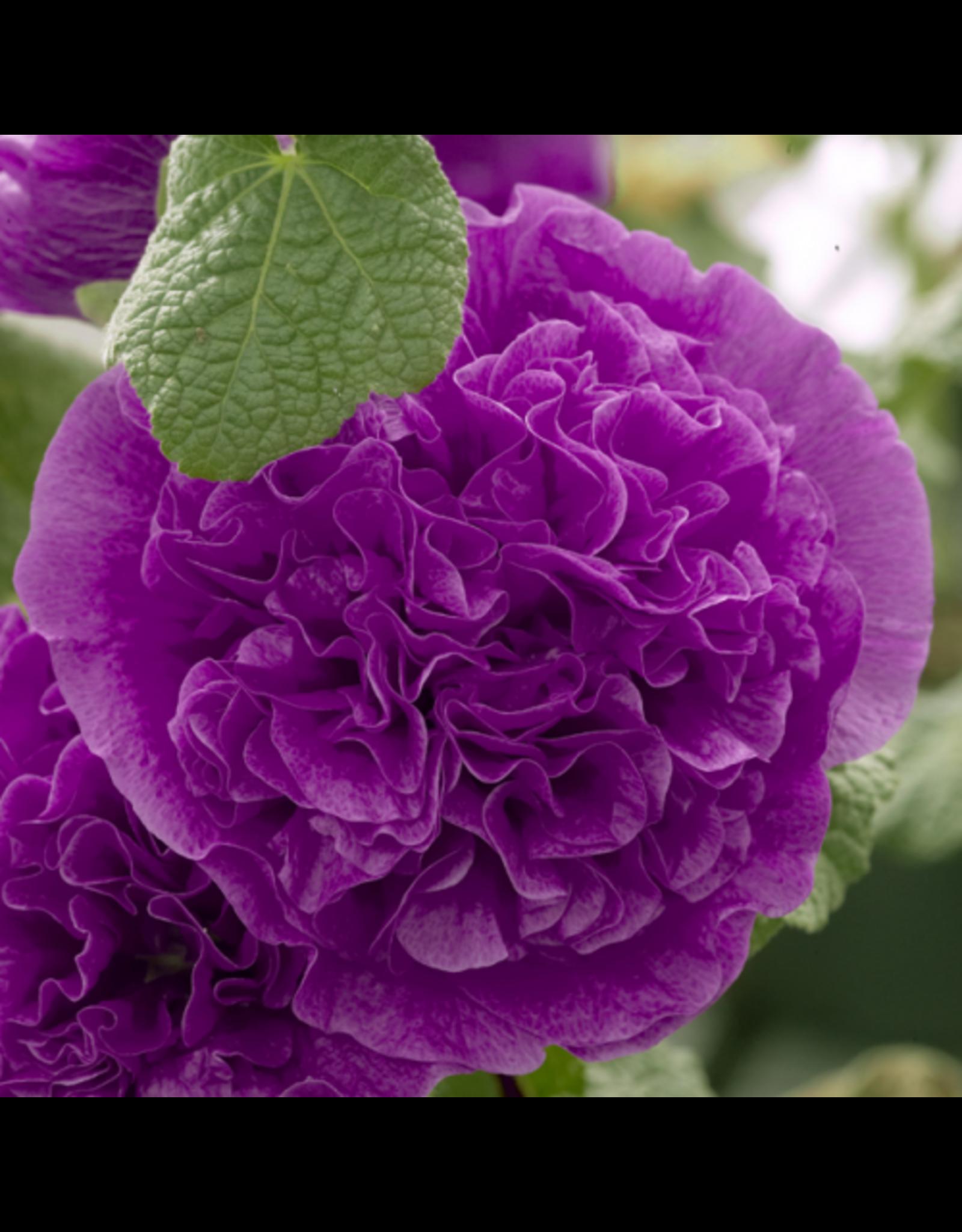 Alcea Rosea 'Chaters Double Purple'